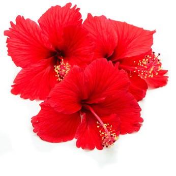 Aroma Hibiscus